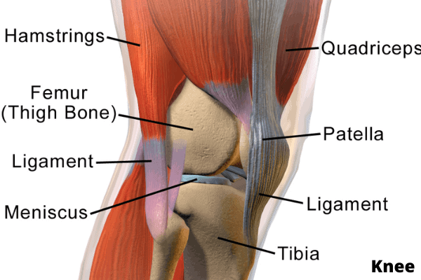 anatomy of knee muscles, joints, cartilage, bone with labels